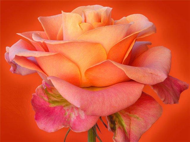 rose 14a